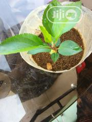 Hybrid Apple Seedlings For Sale | Feeds, Supplements & Seeds for sale in Lagos State, Ojodu