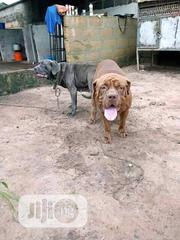 Young Male Purebred Boerboel | Dogs & Puppies for sale in Abia State, Aba North
