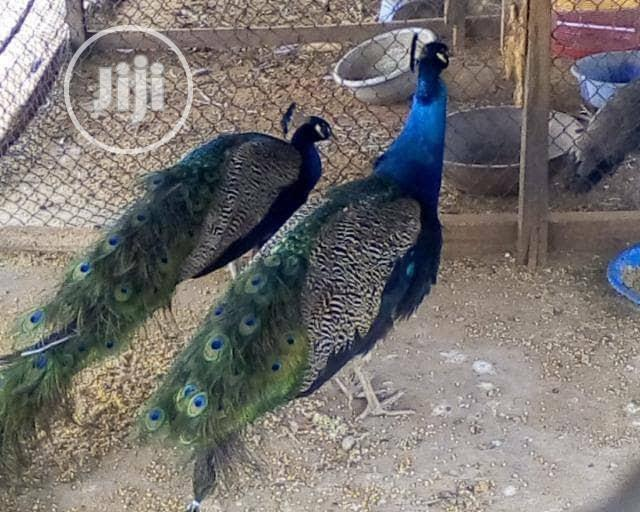Peacock For Sale | Birds for sale in Surulere, Lagos State, Nigeria