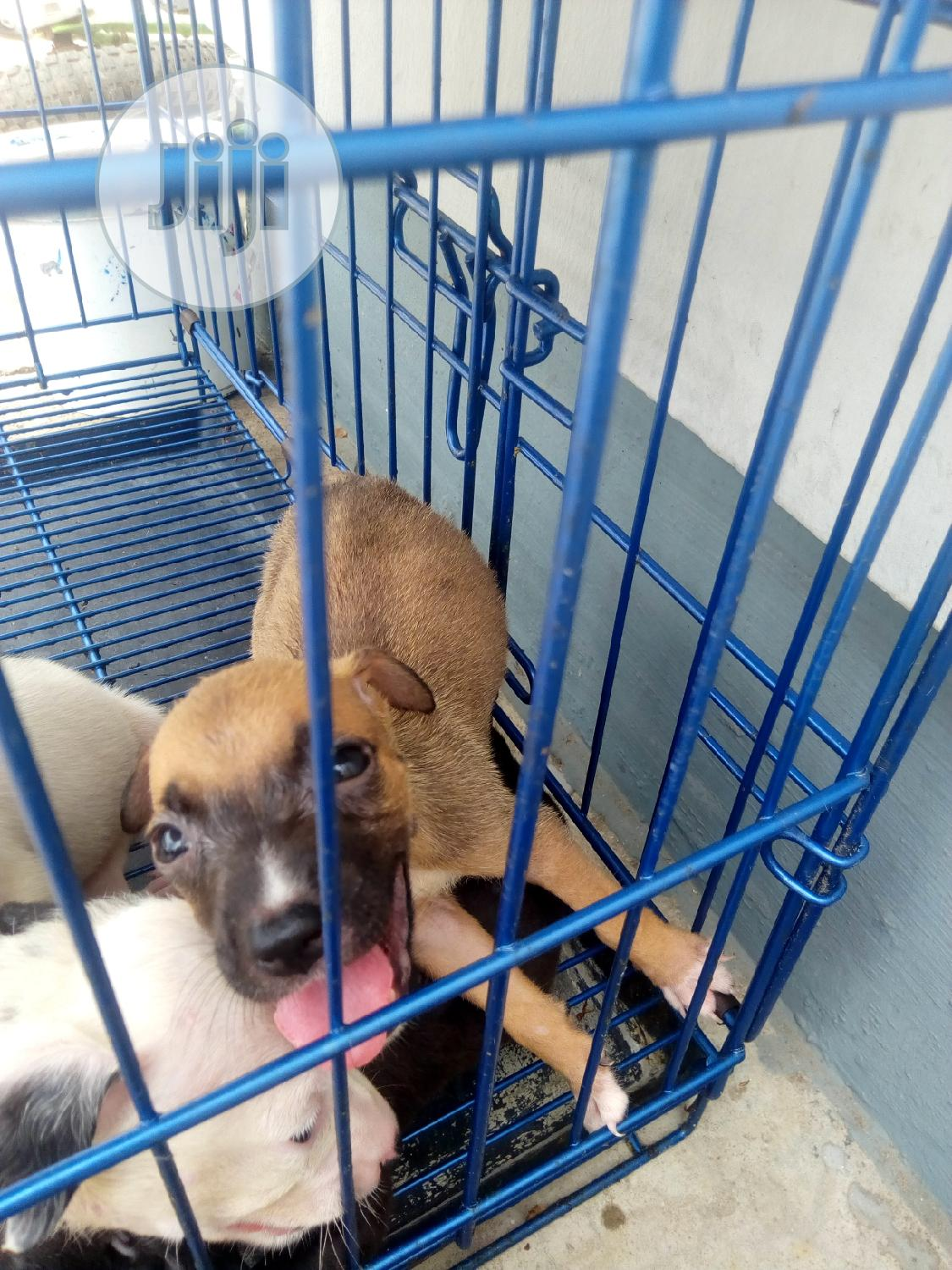 1-3 Month Male Purebred American Pit Bull Terrier | Dogs & Puppies for sale in Victoria Island, Lagos State, Nigeria
