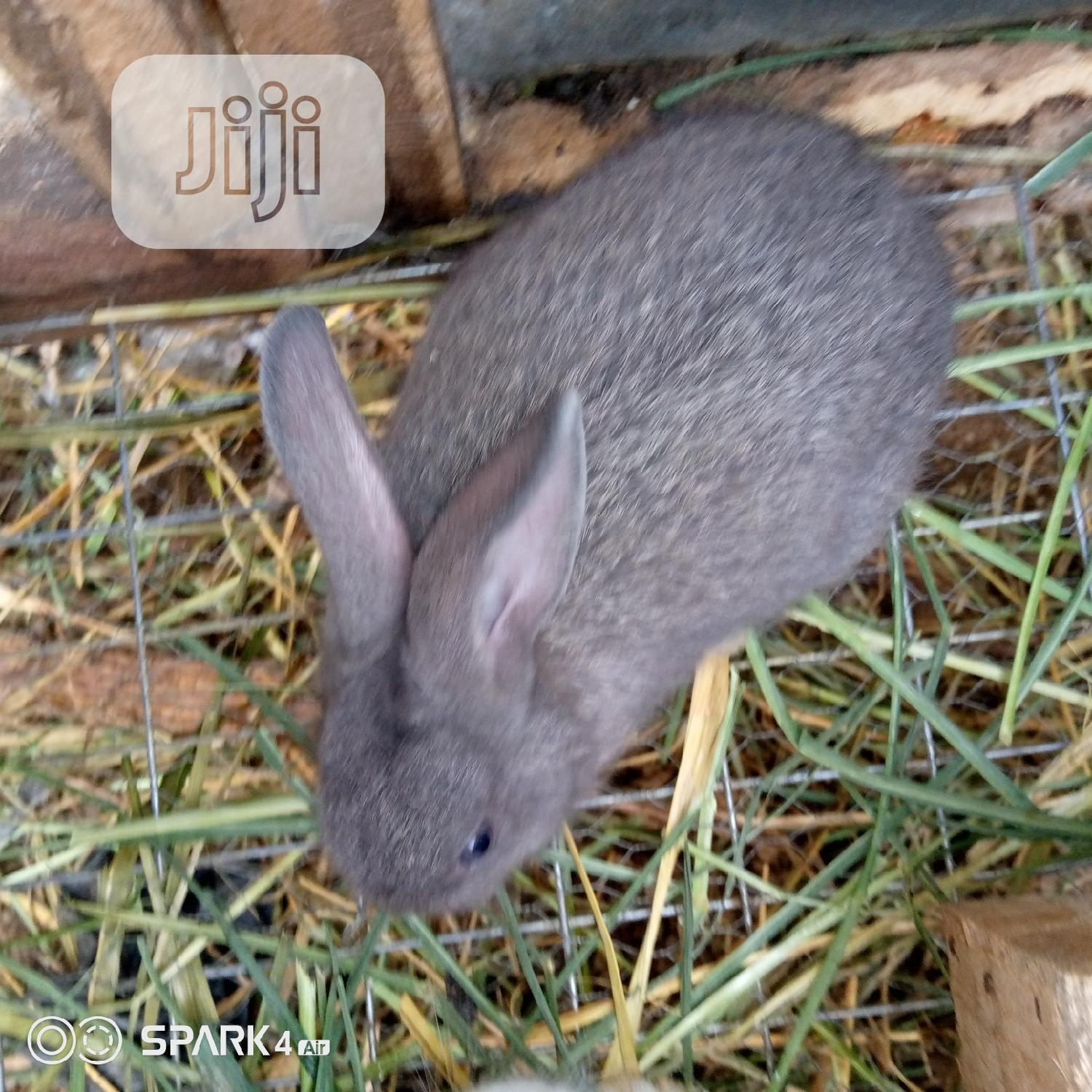 Well Vaccinated Pure Bred Satin Rabbits