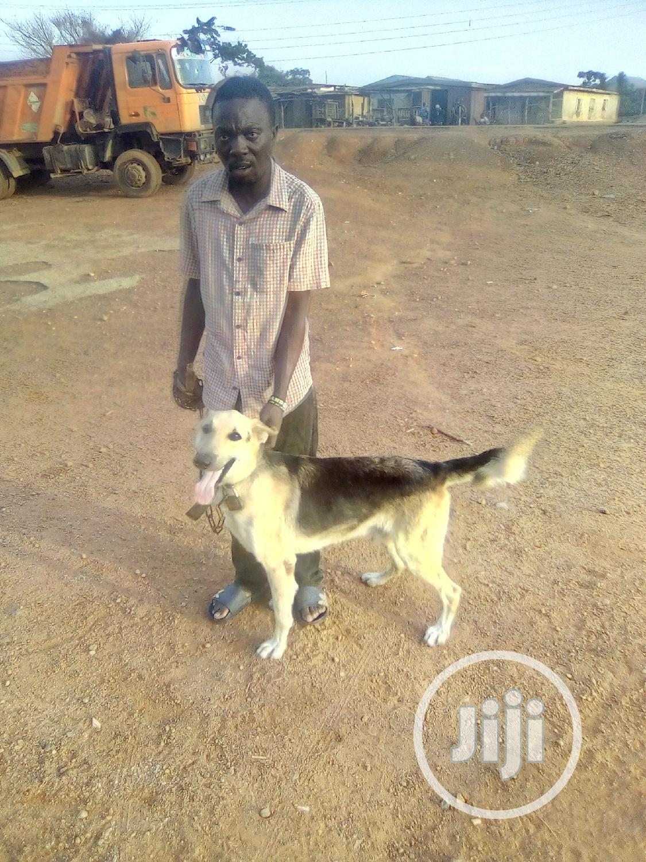 Adult Male Purebred German Shepherd Dog   Dogs & Puppies for sale in Ibadan, Oyo State, Nigeria