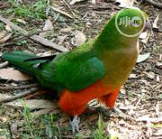 Parrot For Sale | Birds for sale in Oyo State, Ibadan