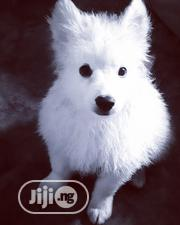 Baby Male Purebred American Eskimo Dog | Dogs & Puppies for sale in Enugu State, Nsukka