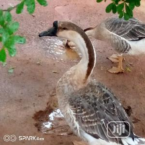 Chinese Geese | Livestock & Poultry for sale in Lagos State, Ikorodu