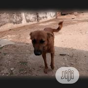 Senior Male Mixed Breed Mongrel (No Breed) | Dogs & Puppies for sale in Rivers State, Obio-Akpor
