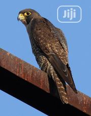 New Zealand Falcon | Birds for sale in Lagos State, Ajah