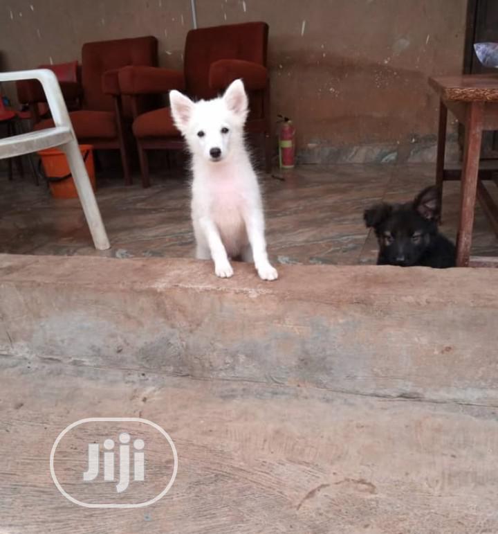 Baby Female Purebred American Eskimo | Dogs & Puppies for sale in Osogbo, Osun State, Nigeria