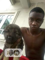 Baby Female Mixed Breed Caucasian Shepherd Dog | Dogs & Puppies for sale in Rivers State, Obio-Akpor