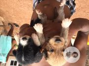 Baby Female Mixed Breed Lhasa Apso | Dogs & Puppies for sale in Enugu State, Enugu