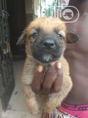 Baby Female Purebred Bullmastiff | Dogs & Puppies for sale in Abia State, Osisioma Ngwa