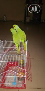 Ring Neck Parakeet Parrot | Birds for sale in Lagos State, Alimosho