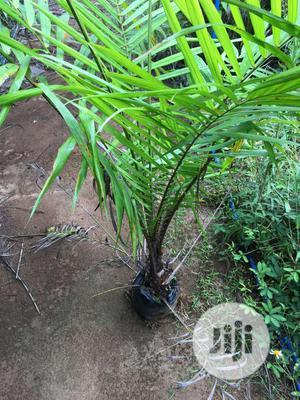 Dwarf Palm Tree Hybrid Seedlings