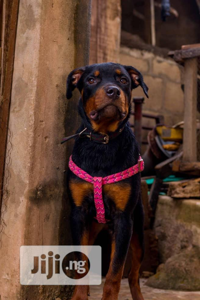 Young Male Purebred Rottweiler | Dogs & Puppies for sale in Alimosho, Lagos State, Nigeria