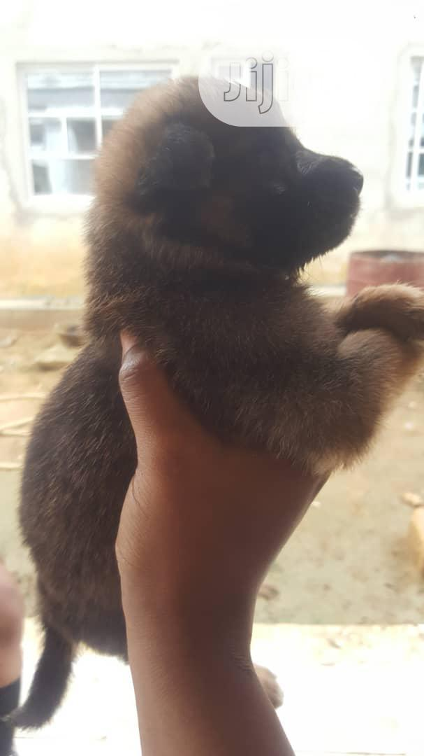 Archive: Baby Female Mixed Breed German Shepherd Dog