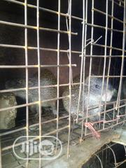 Grasscutters Colony/Family   Livestock & Poultry for sale in Abuja (FCT) State, Central Business Dis