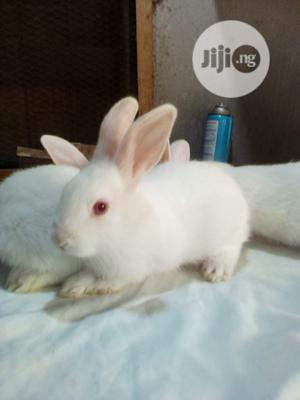 Cute White Bunnies   Other Animals for sale in Lagos State, Surulere