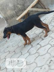 Baby Male Mixed Breed Rottweiler   Dogs & Puppies for sale in Abuja (FCT) State, Central Business Dis