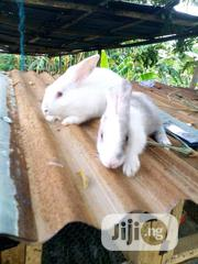 Pure New Zealand Rabbit | Livestock & Poultry for sale in Cross River State, Calabar