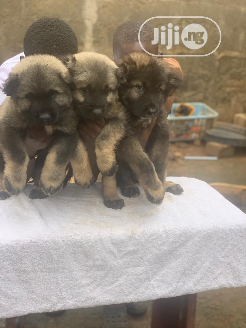 Baby Male Purebred Caucasian Shepherd | Dogs & Puppies for sale in Magodo, Lagos State, Nigeria