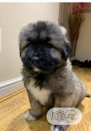 Baby Male Purebred Caucasian Shepherd | Dogs & Puppies for sale in Benue State, Ado