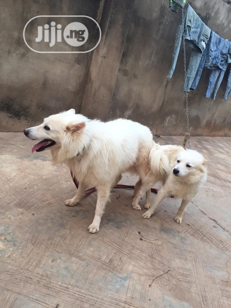 Baby Male Purebred American Eskimo   Dogs & Puppies for sale in Magodo, Lagos State, Nigeria