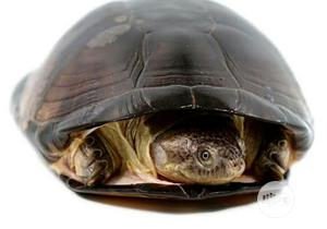 African Helmeted Turtle | Reptiles for sale in Lagos State, Ipaja