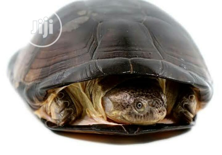 Archive: African Helmeted Turtle