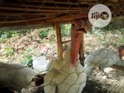 Turkeys For Sale | Livestock & Poultry for sale in Ogun State, Ijebu Ode