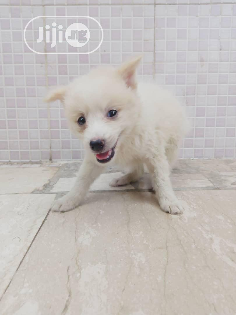 Young Female Purebred American Eskimo | Dogs & Puppies for sale in Ikorodu, Lagos State, Nigeria