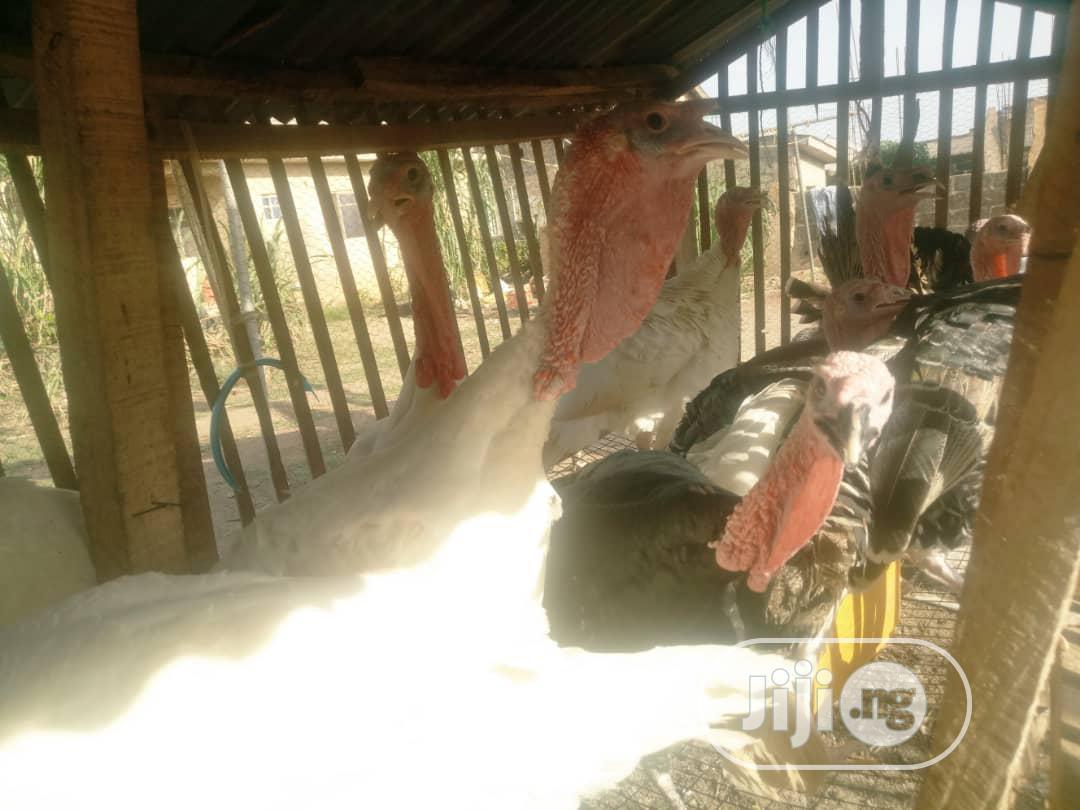 Matured Male 10 Months Turkey For Sale | Livestock & Poultry for sale in Sagamu, Ogun State, Nigeria