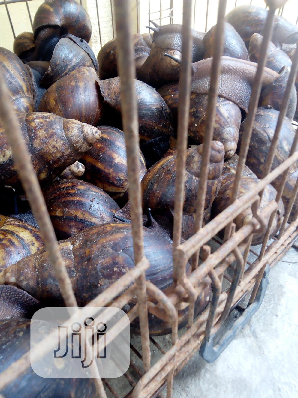 Archive: Big Jumb, Medium N Small Sizes Snails