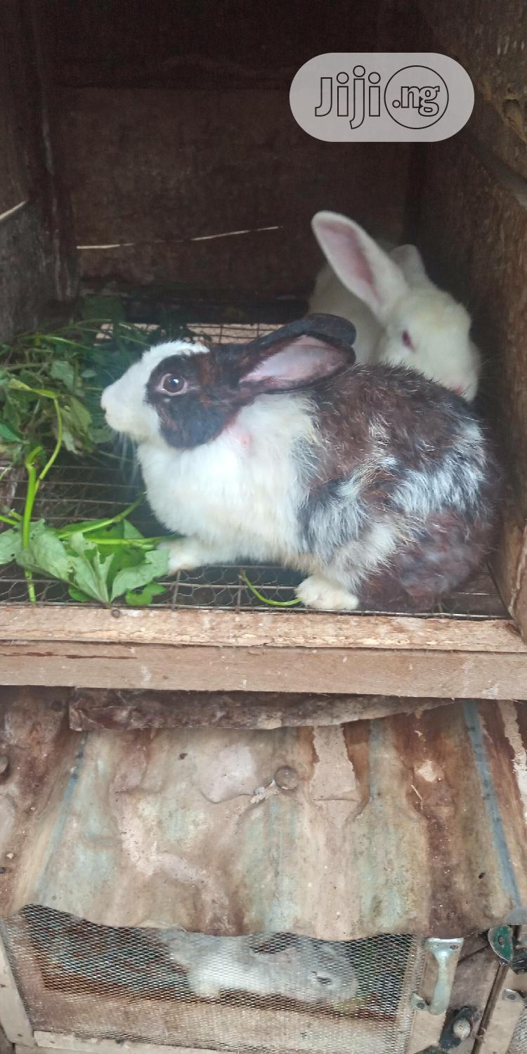 Well Bred Rabbits | Livestock & Poultry for sale in Ajah, Lagos State, Nigeria