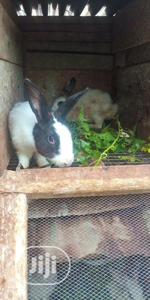 Healthy Rabbits   Livestock & Poultry for sale in Lagos State, Ajah
