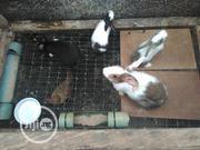 Rabbit Clearance Sale | Livestock & Poultry for sale in Ogun State, Ado-Odo/Ota