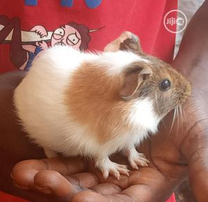 American Guinea Pigs, Shy And Very Friendly | Livestock & Poultry for sale in Lagos State, Ikorodu