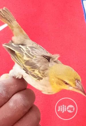 Yellow Weavel Birds With Cage | Birds for sale in Lagos State, Ikorodu