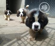 Baby Male Purebred Saint Bernard | Dogs & Puppies for sale in Rivers State, Port-Harcourt