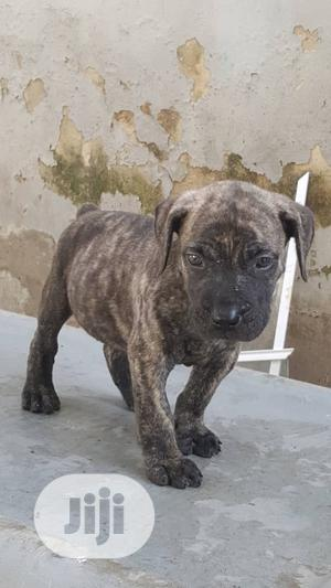 Baby Male Purebred Boerboel | Dogs & Puppies for sale in Oyo State, Ibadan