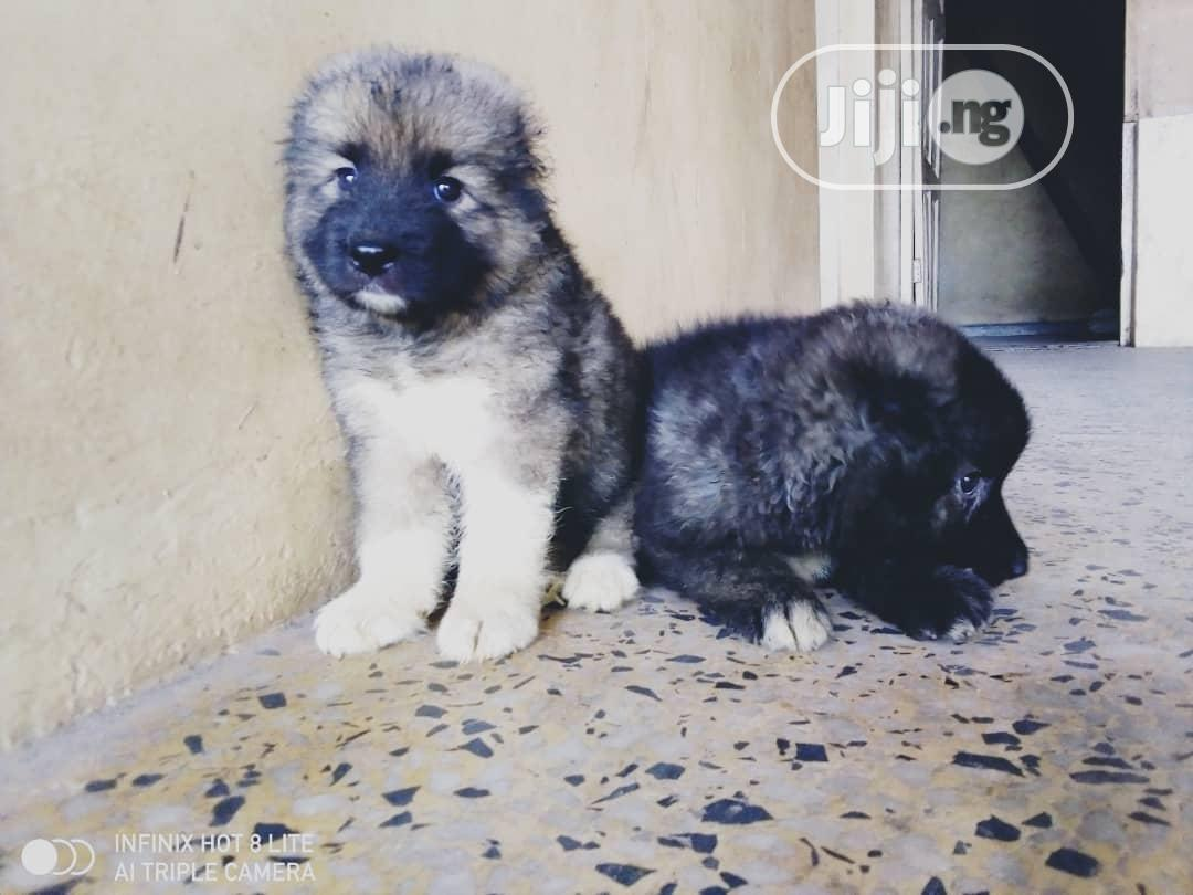 Baby Male Purebred Caucasian Shepherd | Dogs & Puppies for sale in Ibadan, Oyo State, Nigeria