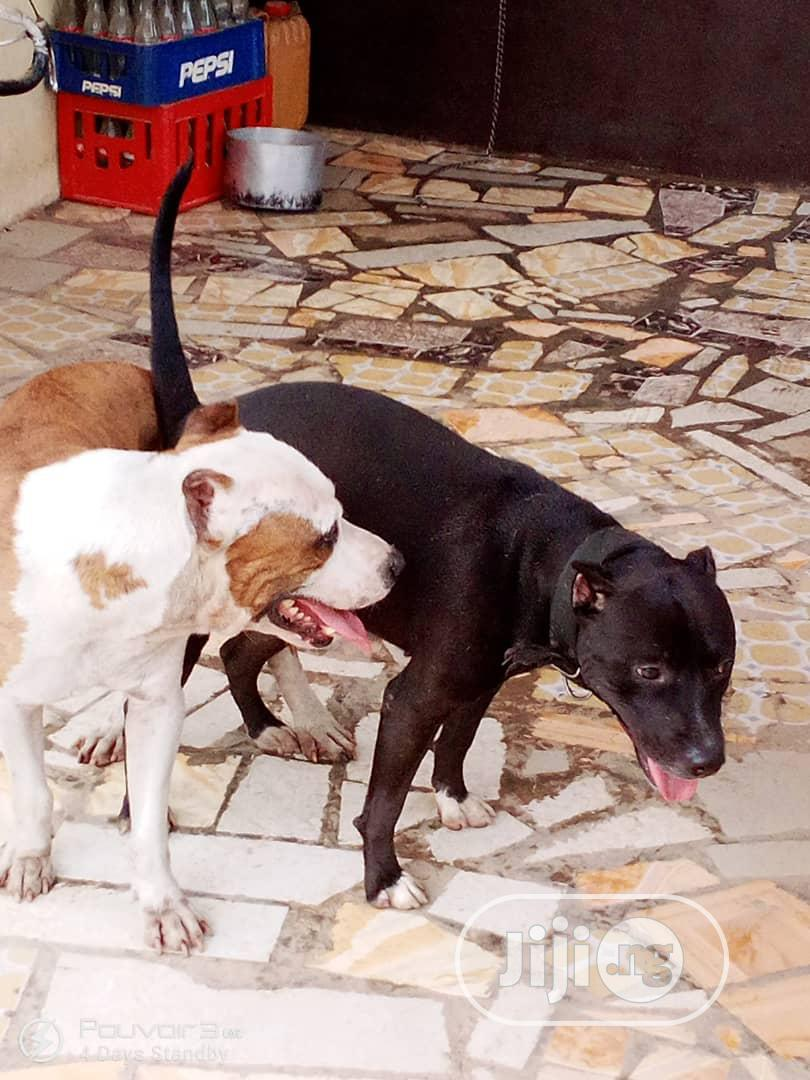 Archive: Baby Female Purebred American Pit Bull Terrier