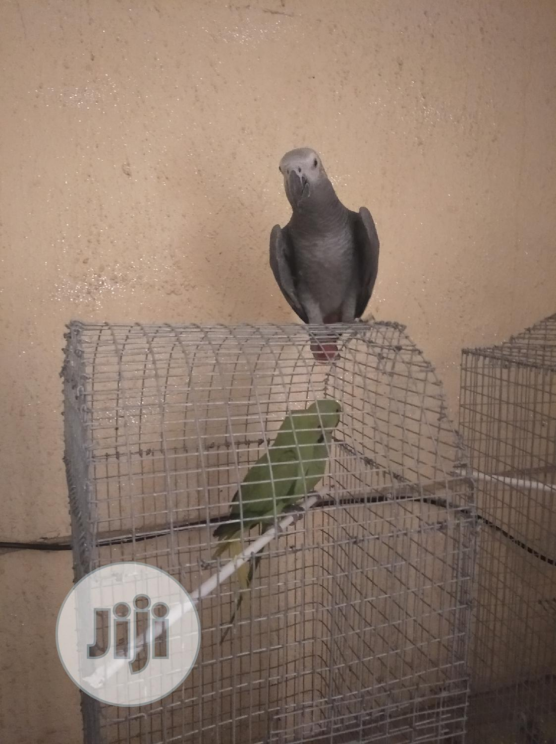 Africa Grey Parrot Tamed (Male /Female) | Birds for sale in Ikotun/Igando, Lagos State, Nigeria