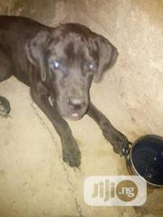 Adult Male Mixed Breed Cane Corso | Dogs & Puppies for sale in Rivers State, Obio-Akpor