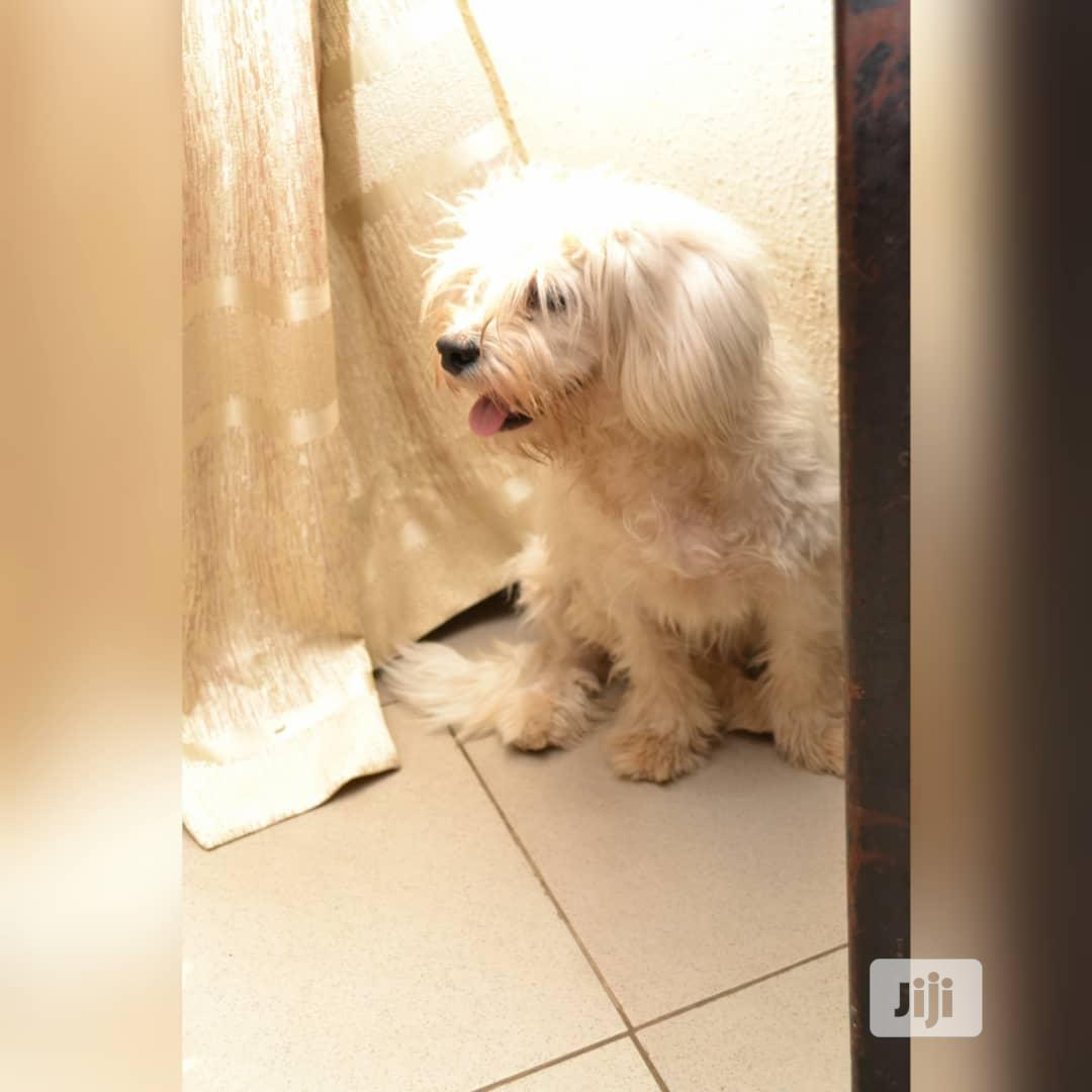 1-3 Month Male Purebred Lhasa Apso | Dogs & Puppies for sale in Gwarinpa, Abuja (FCT) State, Nigeria