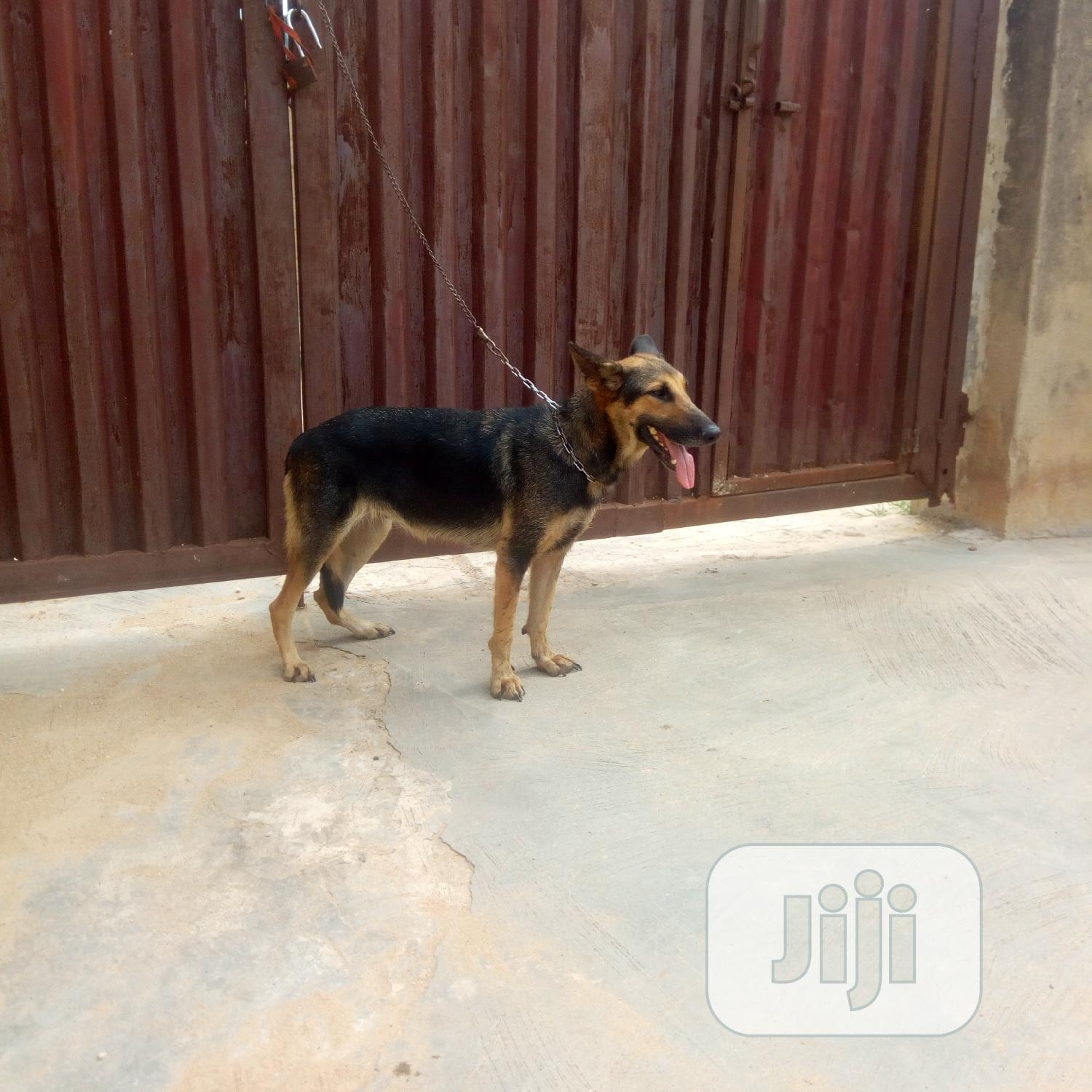 Adult Female Purebred German Shepherd | Dogs & Puppies for sale in Ibadan, Oyo State, Nigeria