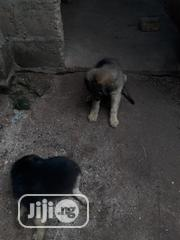 Baby Male Mixed Breed German Shepherd   Dogs & Puppies for sale in Anambra State, Ihiala
