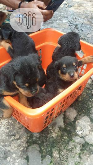 1-3 month Male Purebred Rottweiler | Dogs & Puppies for sale in Lagos State, Lekki
