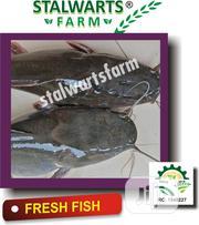 Fresh Catfish   Meals & Drinks for sale in Lagos State, Ikorodu