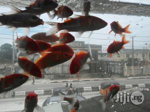 Japanese Koi Fish | Fish for sale in Lagos State, Ikoyi