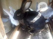 Rabbits Available | Livestock & Poultry for sale in Lagos State, Surulere